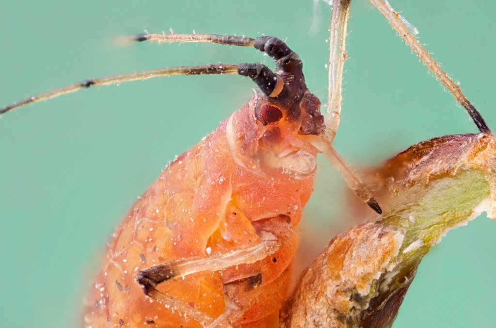 12X-makro-böcek-fotoğrafı-ağaç-biti