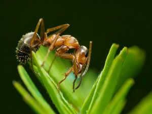 Makro Kırmızı karınca