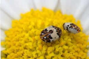 Makro papatya üzerinde böcekler