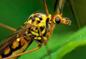 Makro dev sivrisinek