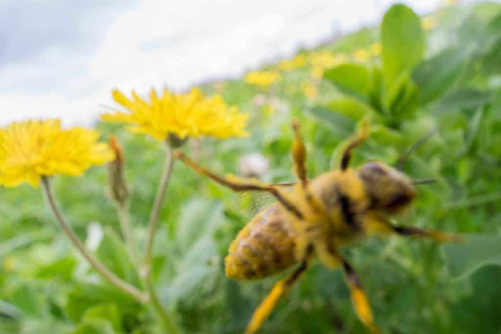 Lensin camında yürüyen arı