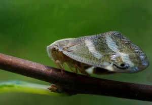 Makro Leafhopper