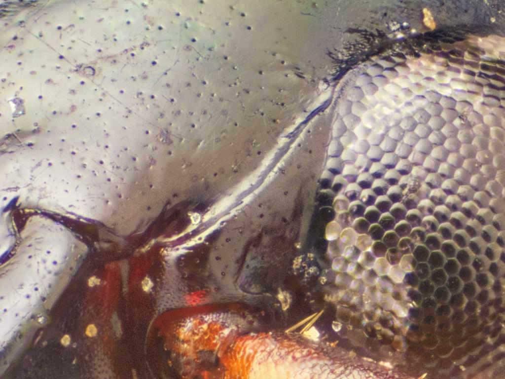 Microscope-lens-macro-coleoptera-details