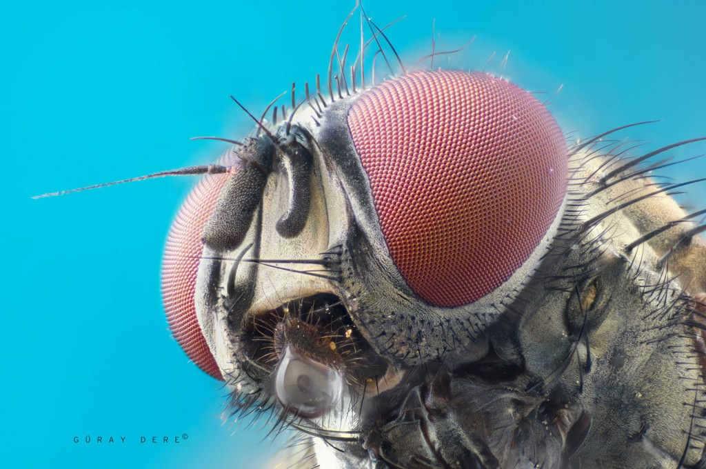 Microscope-lens-macro-fly