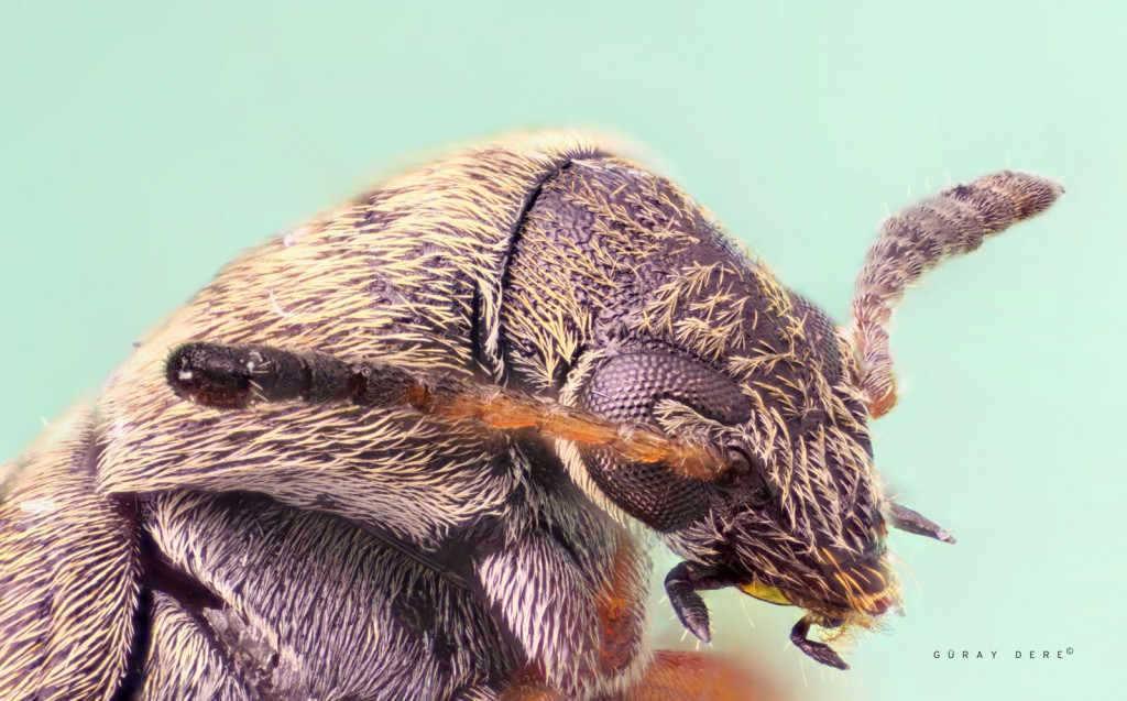 Microscope-lens-macro-seed-bug