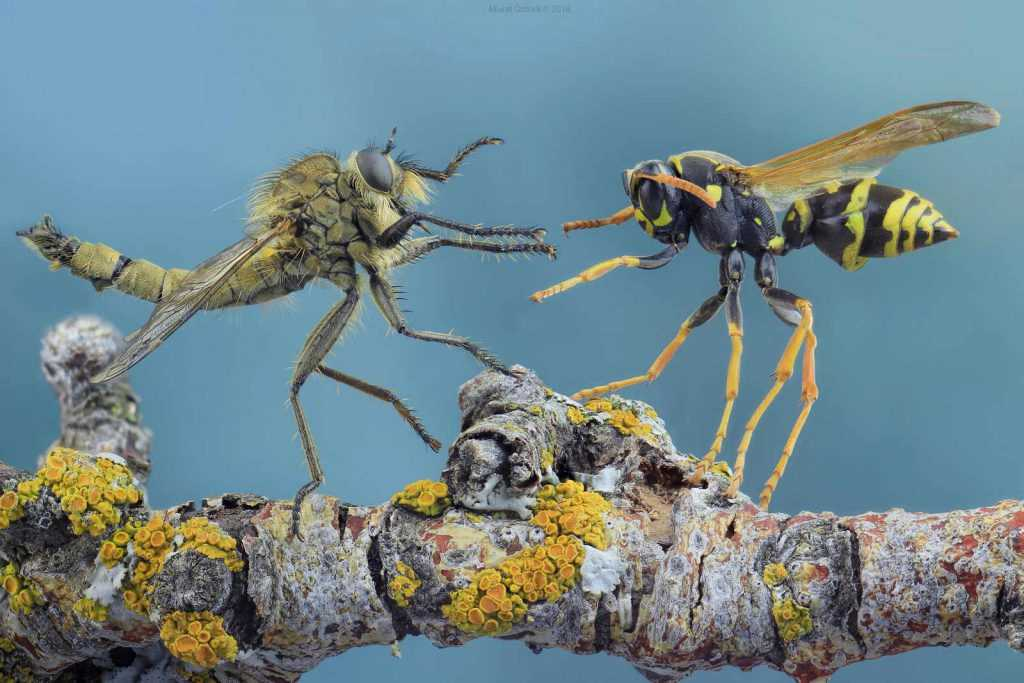 robber-fly-vs-wasp