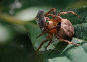 Makro Örümcek ve Avı