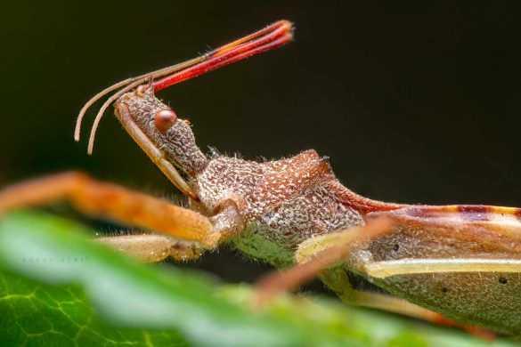 makro-bocek-fotografi-Assassin-Bug-Reduviidae-2