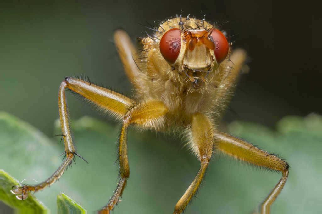 makro-bocek-fotografi-dung-fly-unprocessed