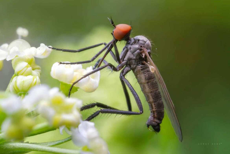 makro-bocek-fotografi-emphid-dance-fly