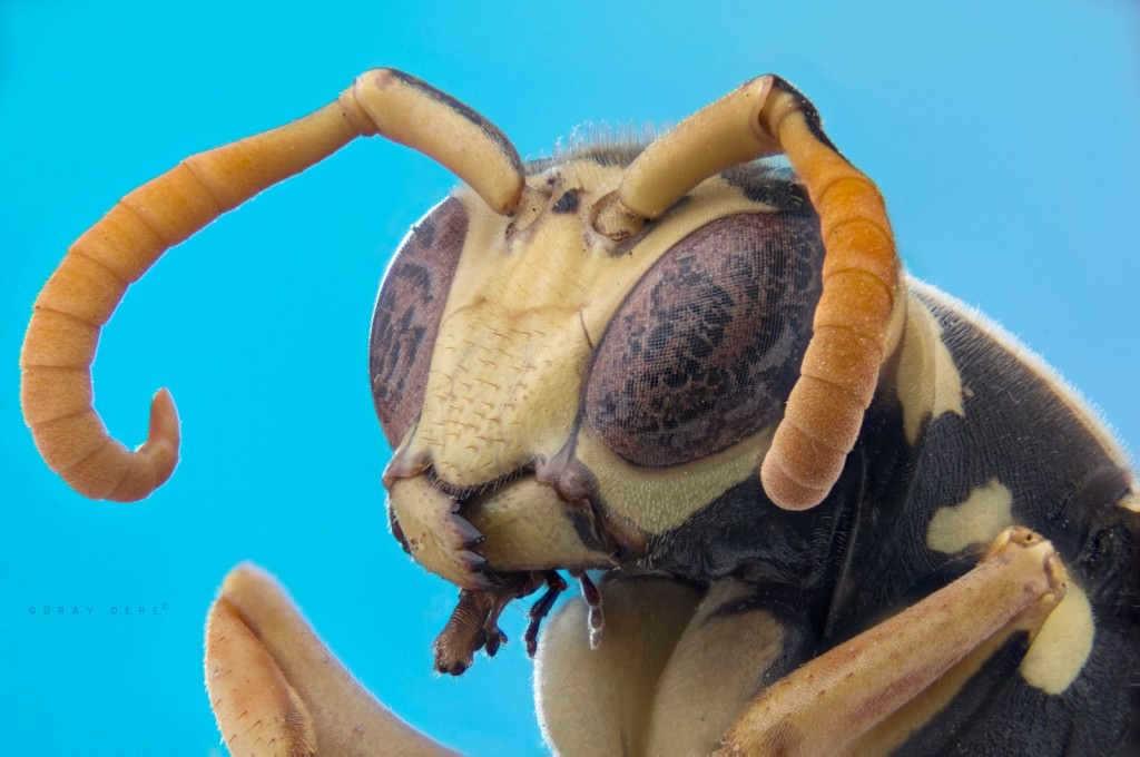 makro-bocek-fotografi-esek-arisi-wasp