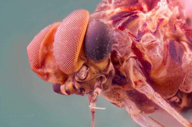 makro-bocek-fotografi-mayfly-Ephemeroptera-eyes-lomo-8x-microscope