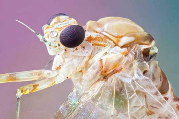 makro-bocek-fotografi-mayfly-Ephemeroptera-lomo-3.7x-microscope