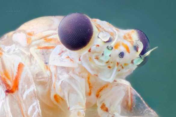 makro-bocek-fotografi-mayfly-Ephemeroptera-lomo-8x-microscope