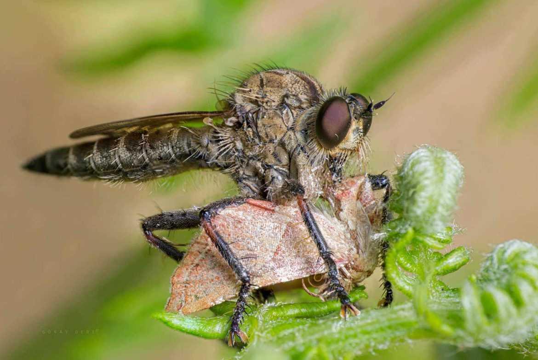 makro-bocek-fotografi-robberfly-hunting-moth-asilidae