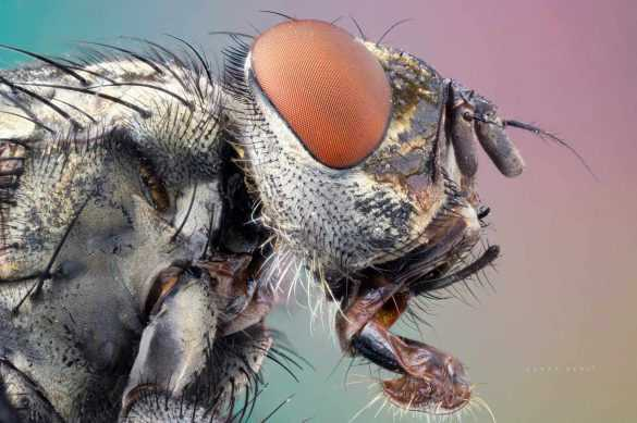 makro-bocek-fotografi-sinek-mikroskop-lomo-flesh-fly