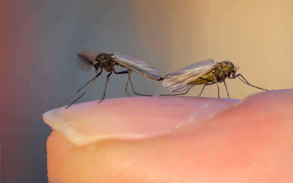Makro böek fotoğrafı sivrisinek midge fly 2X