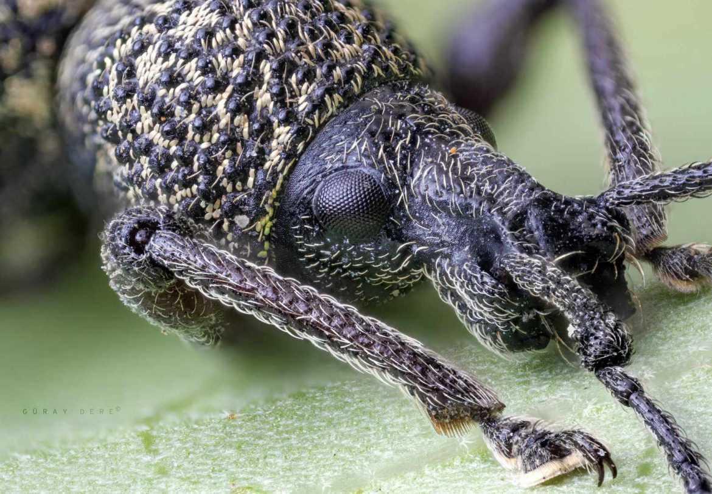makro-bocek-fotografi-weevil-lomo-3.7x-microscope-lens