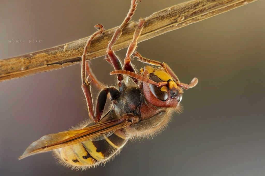 makro-bocek-fotografi-yaban-arisi-hornet-wasp