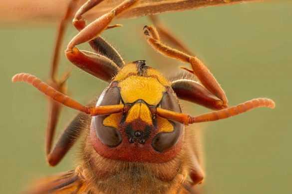 makro-bocek-fotografi-yaban-arisi-hornet-wasp-2