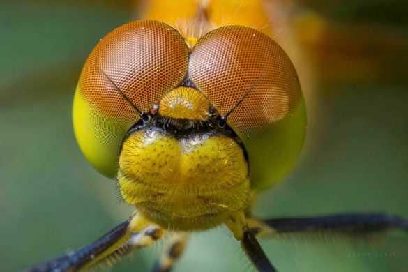 makro-bocek-fotografi-yusufcuk-dragonfly-odonata