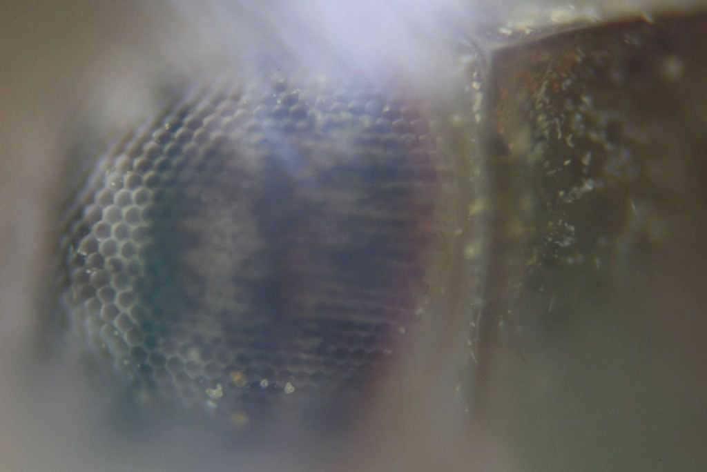 makro-bocek-test-lomo-20x-microscope-leafhopper-eye-goz