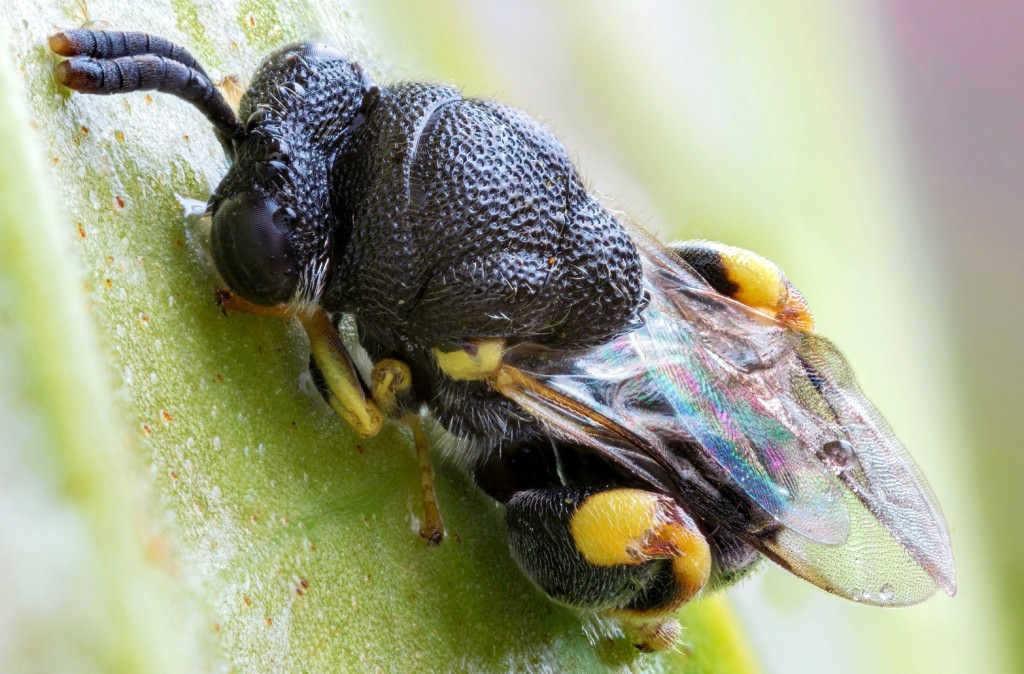 makro-dogal-isik-chalcididae