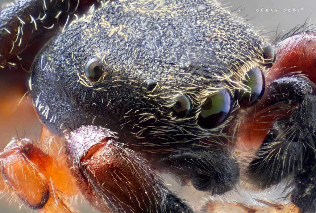 makro-zıplayan-örümcek-fotoğrafı-mikroskop-lensi